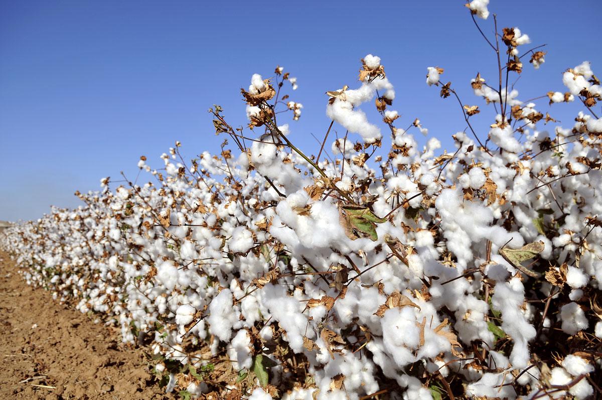 Baumwolle auf dem Feld